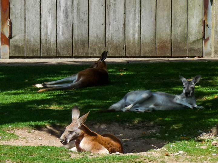Chilling Kangaroos