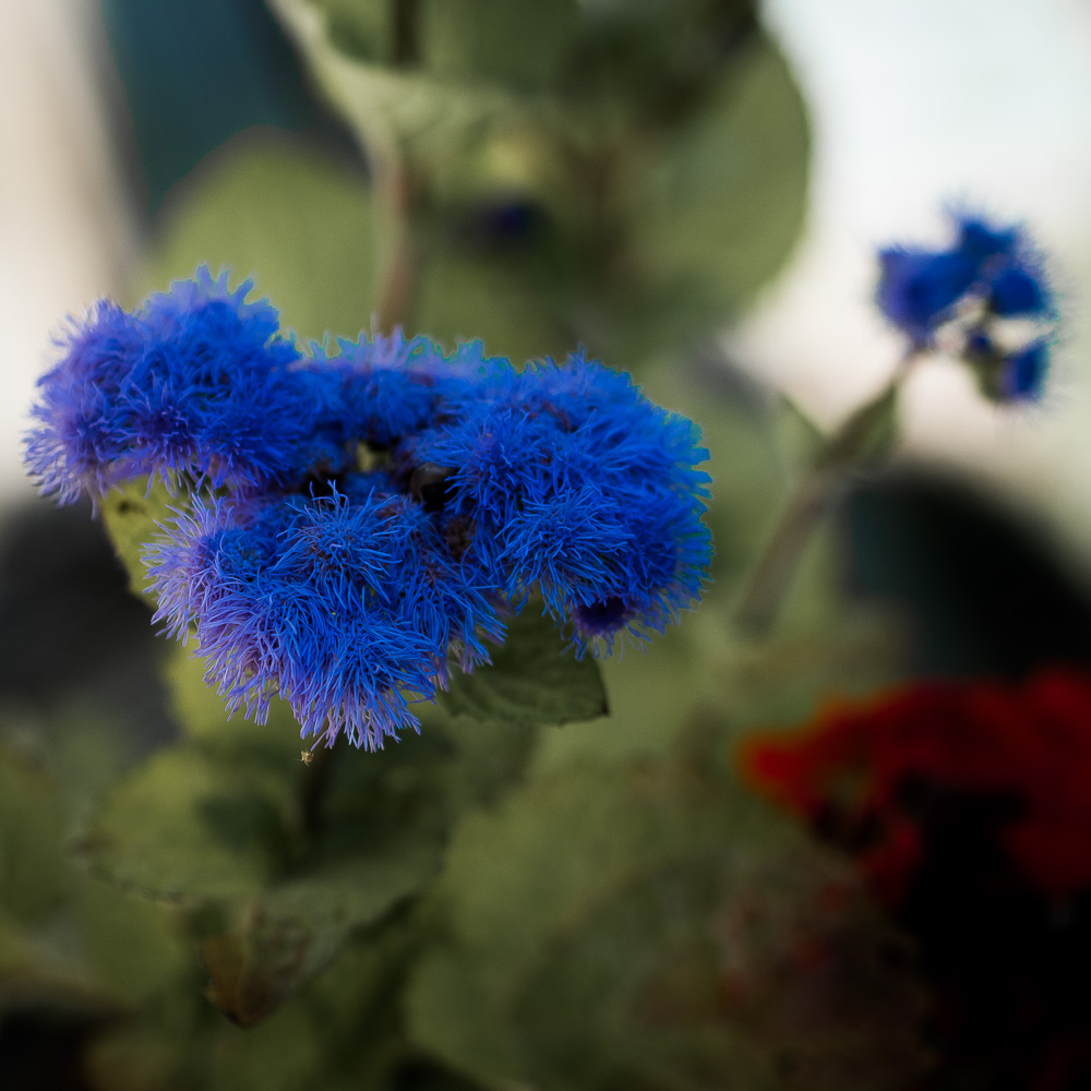 blue and red flowers