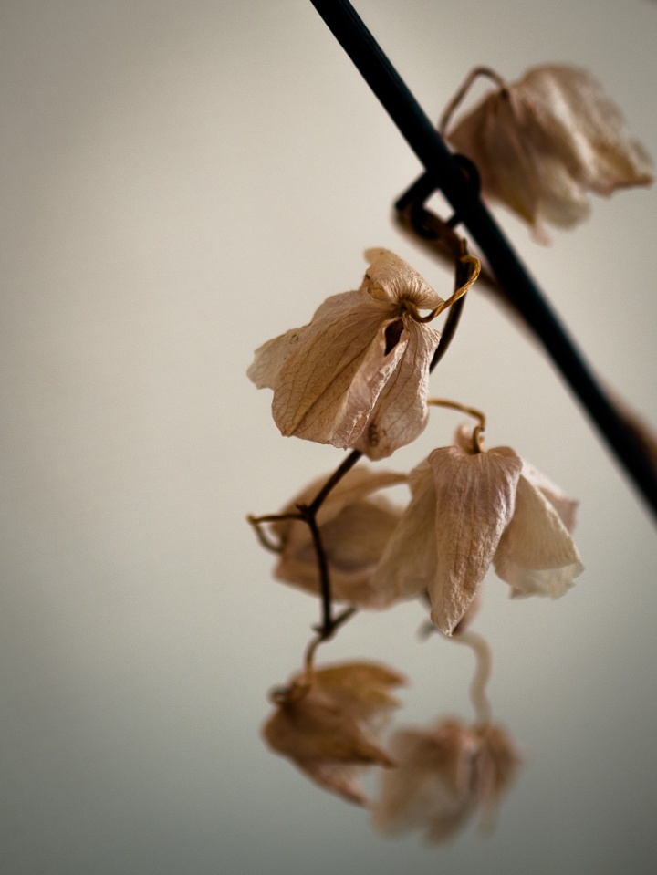 dry orchid flowers