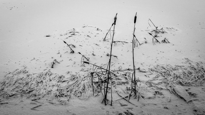 cattails_winter