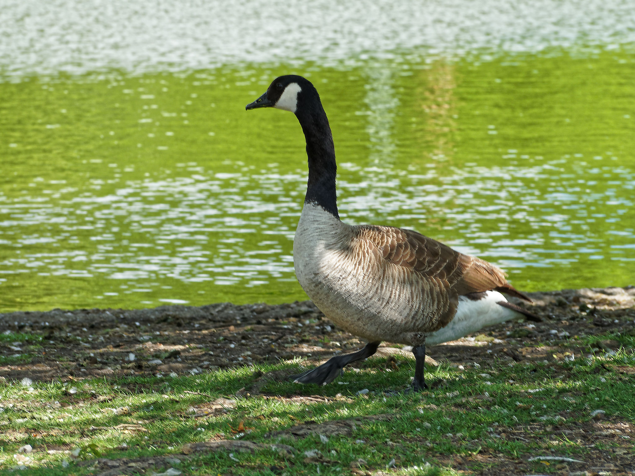 A canada goose waling by a pond