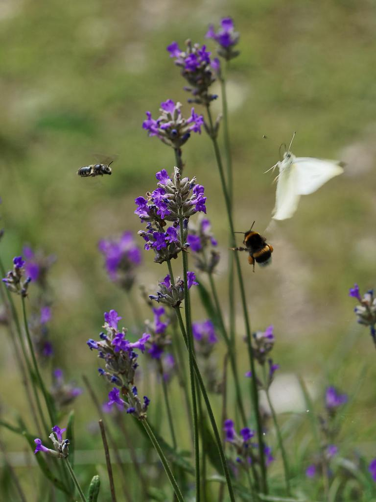 A bee, a bumblebee and a butterfly flying around a purple flower.